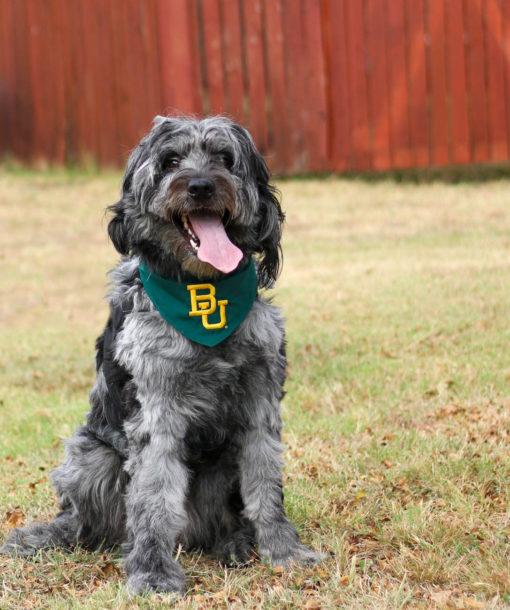 BU Baylor Bear dog bandana Barefoot Campus Outfitter